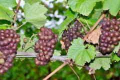 how-long-does-it-take-grapes-to-grow