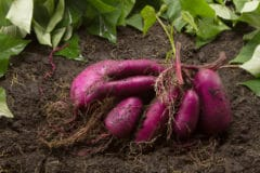 how-many-sweet-potatoes-per-plant