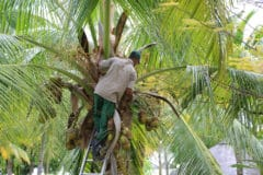 how-to-pick-a-coconut