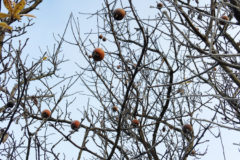 how-to-prune-quince-trees