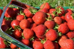 how-to-store-fresh-picked-strawberries