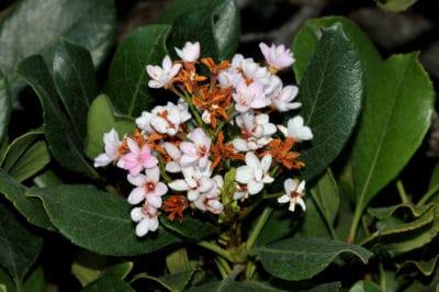 indian-hawthorn-hedge
