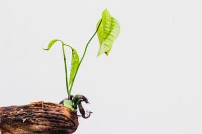 mango-seed-germination