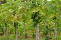 papaya-tree-care