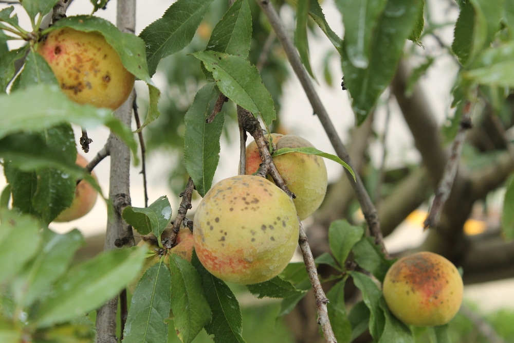 Peach Scab » Tips for Identifying & Control