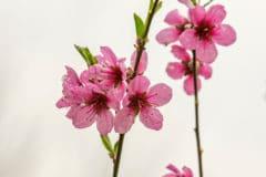 peach-tree-blossoms