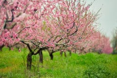 peach-tree-fertilizer