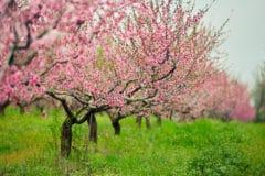 peach-tree-fertilizer