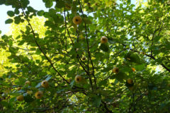 quince-growing-conditions
