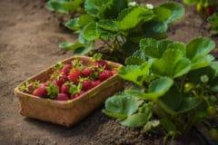 strawberry-baskets