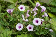 sweet-potato-flower