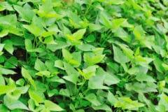 sweet-potato-vine-perennial