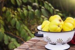 when-do-quince-ripen