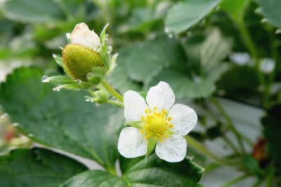 when-do-strawberries-bloom