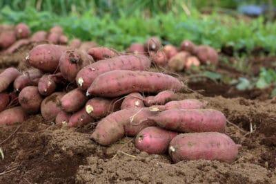where-are-sweet-potatoes-grown