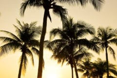 where-do-coconut-trees-grow