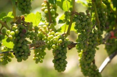 where-do-grapes-grow