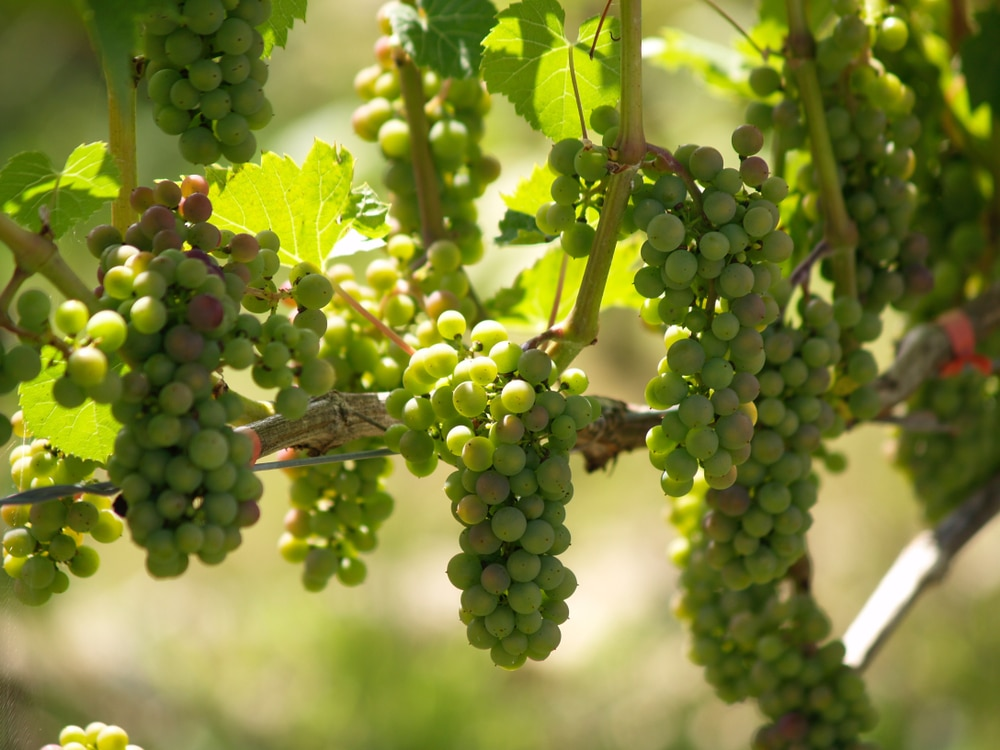 Where Do Grapes Grow Top Location Facts