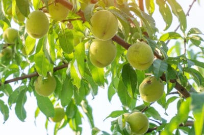 where-do-peaches-grow