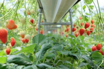 where-do-strawberries-grow