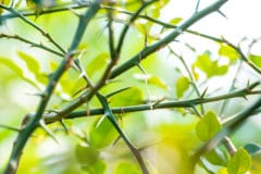 do-lime-trees-have-thorns