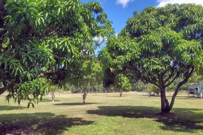 do-mangoes-grow-on-trees