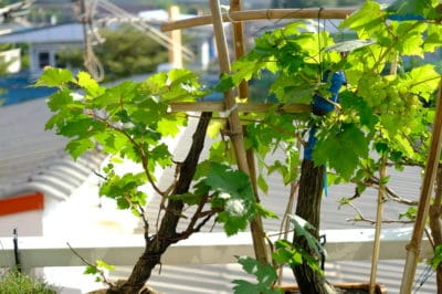 growing-grapes-in-containers
