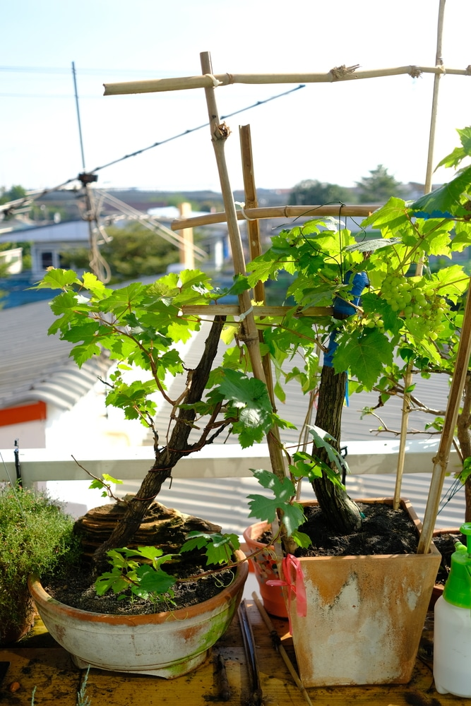 Growing Grapes in Containers Isn't Hard