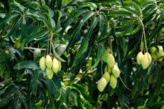 how-long-does-it-take-to-grow-a-mango-tree