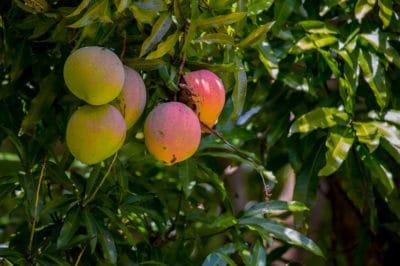 how-to-grow-a-mango-tree