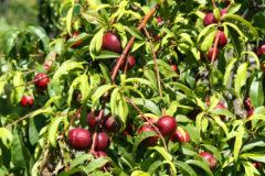 how-to-grow-a-plum-tree