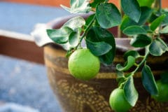 indoor-lime-tree