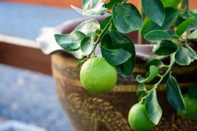 indoor-lime-tree