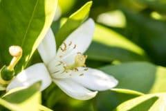 lime-blossom