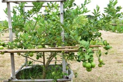 lime-tree-care