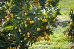 loquat-tree-growth-rate