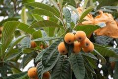loquat-tree-texas