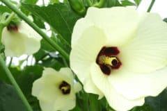 okra-flower
