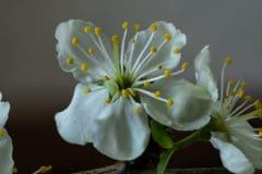 plum-tree-blossoms