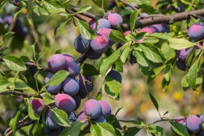 plum-tree-care