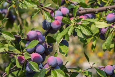 plum-tree-care