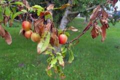 plum-tree-diseases