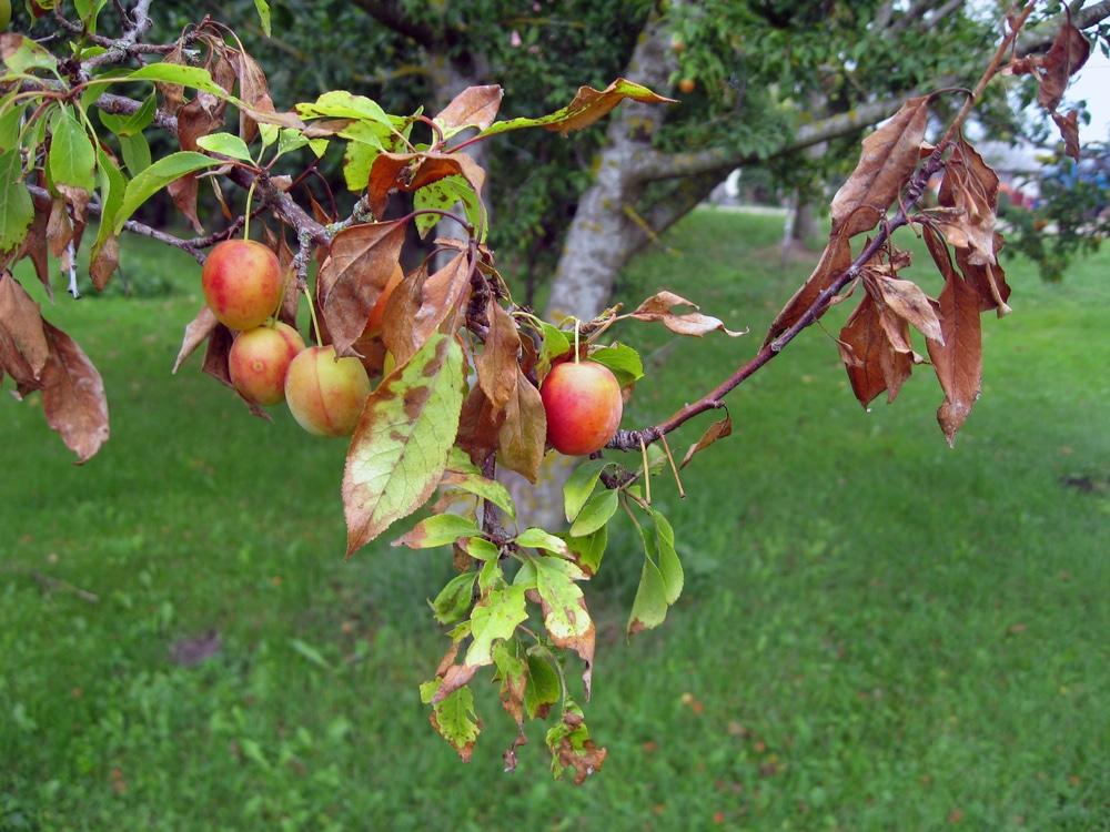 Pictures Of Plum Tree Diseases