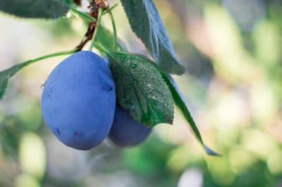 plum-tree-leaves
