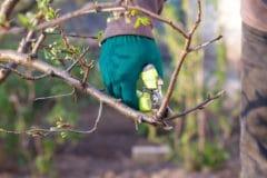pruning-plum-trees