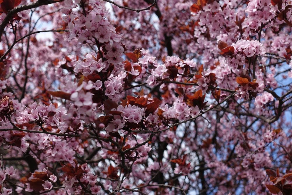 Purple Leaf Plum Hedge Top Growing Tips