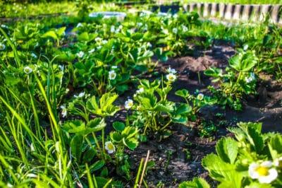 strawberry-companion-plants