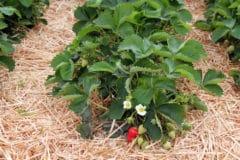 strawberry-plant-care