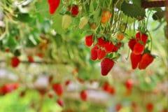 upside-down-strawberry-planter