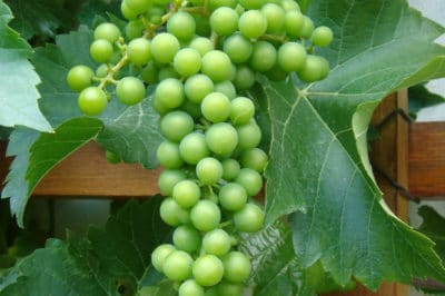 what-do-grapes-grow-on